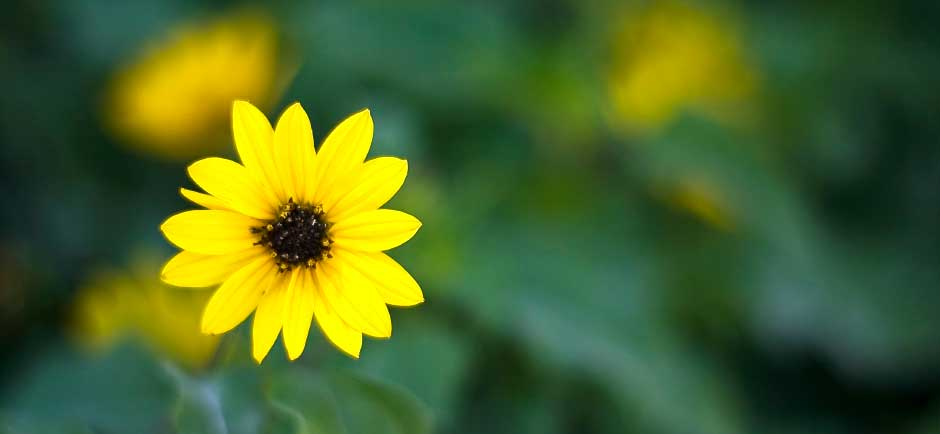 Yellow flower with green background